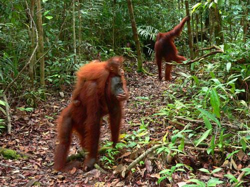 075 kalimantan parc tanjung puting camp pondok tanggy orang outan femelle bebe